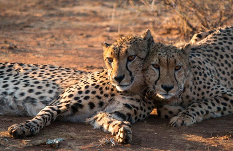 Гепарды не захотели охотиться на скот вдали от деревьев для меток