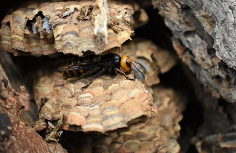 В США обнаружили уже третье гнездо гигантских шершней-убийц
