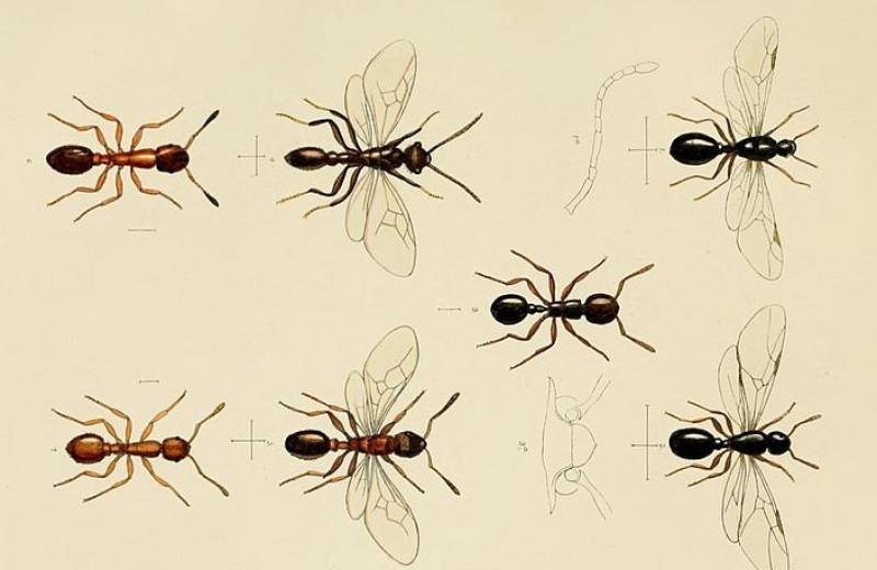 Паразиты превратили рабочих муравьев в ленивых долгожителей