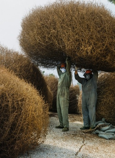 Перекати-поле: сорняк, завоевавший Запад