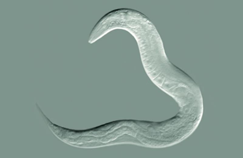 Крошечные круглые черви умеют избегать ядовитых бактерий и учат этому потомков и сородичей