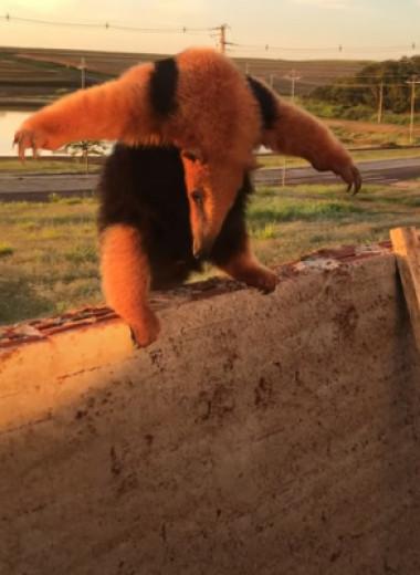 Муравьед хочет казаться большим и страшным: видео