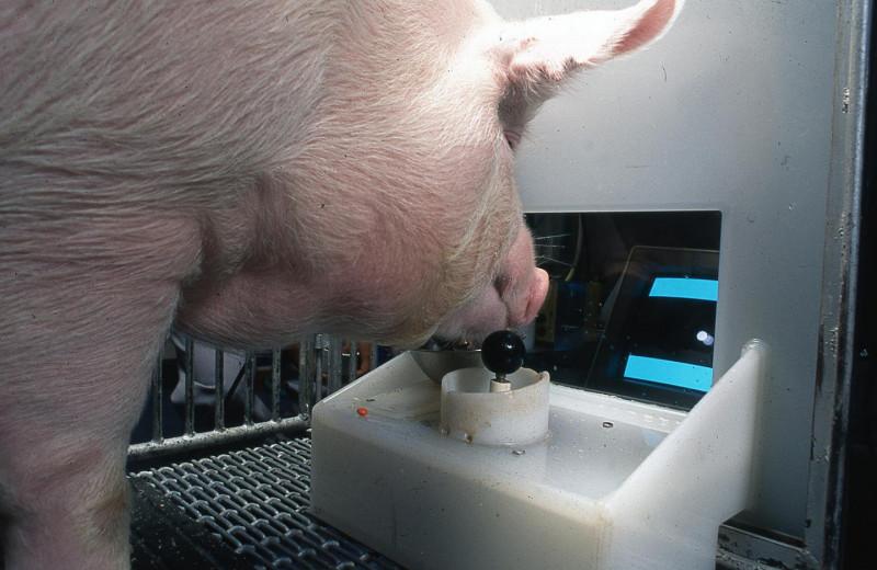Хрюшки-геймеры: свиньи продемонстрировали интеллект в видеоиграх