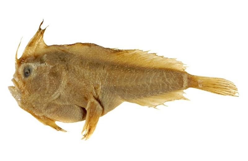 Причудливая рыба с плавниками-лапками официально признана вымершим видом