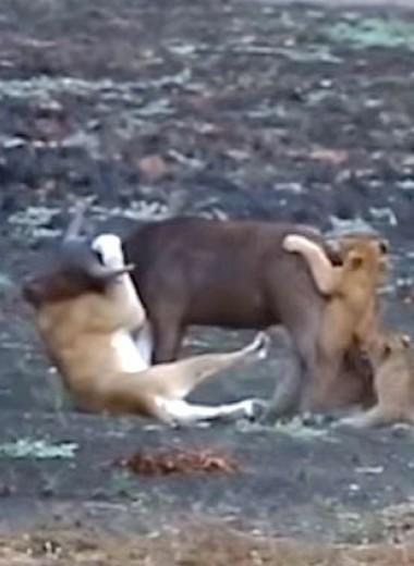 Десять львят против одного телёнка: видео