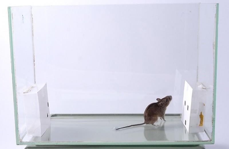 Мыши оказались способны различать числа