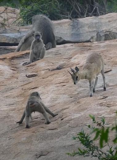 Павианы играют в догонялки с антилопами: видео