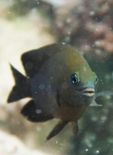 В Карибском море нашли рыб, приручивших мизид для выращивания водорослей