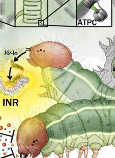 У бобовых нашли рецептор травоядной тревоги