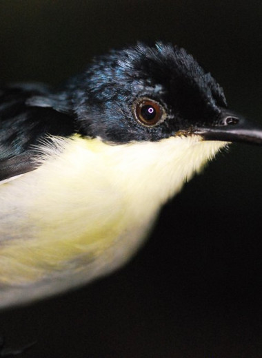 Атласный фруктоед: новый вид птиц, открытый в Новой Гвинее