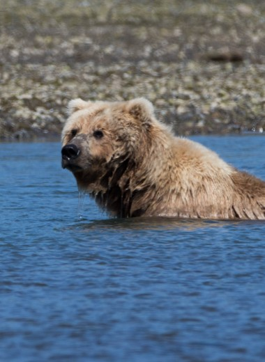 Медведь гонится за туристом-байдарочником: видео