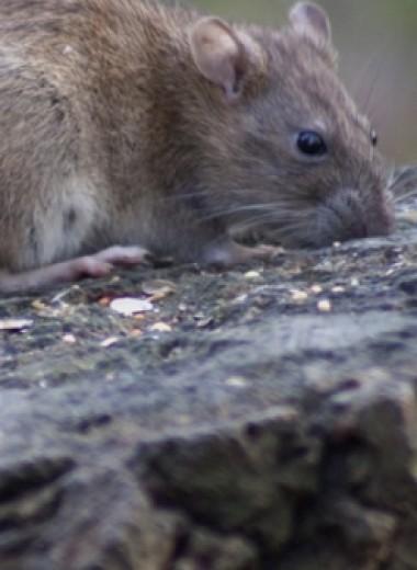 Крысы в Индии съели 17 000 долларов