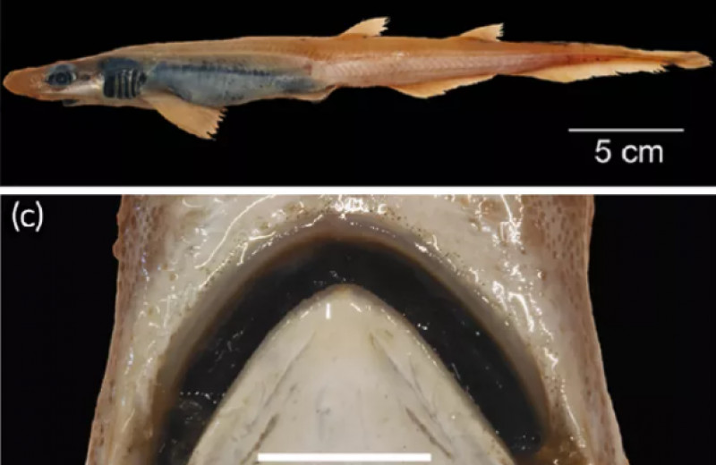 В Средиземном море выловили акулу без чешуи и зубов