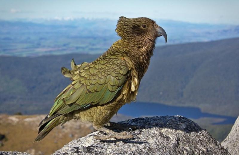 Новозеландских попугаев кеа вытеснили в горы люди или другие попугаи