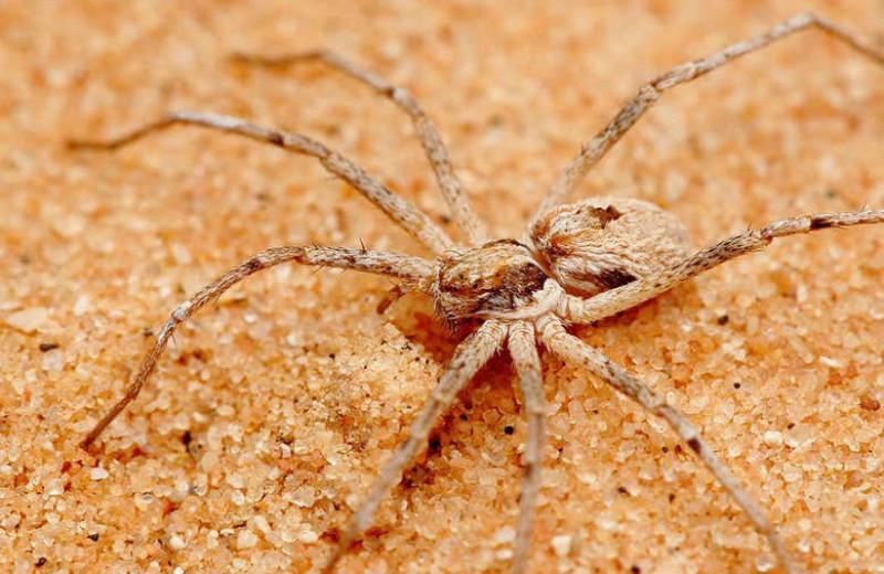 Обнаружены пауки, которые связывают самок перед спариванием