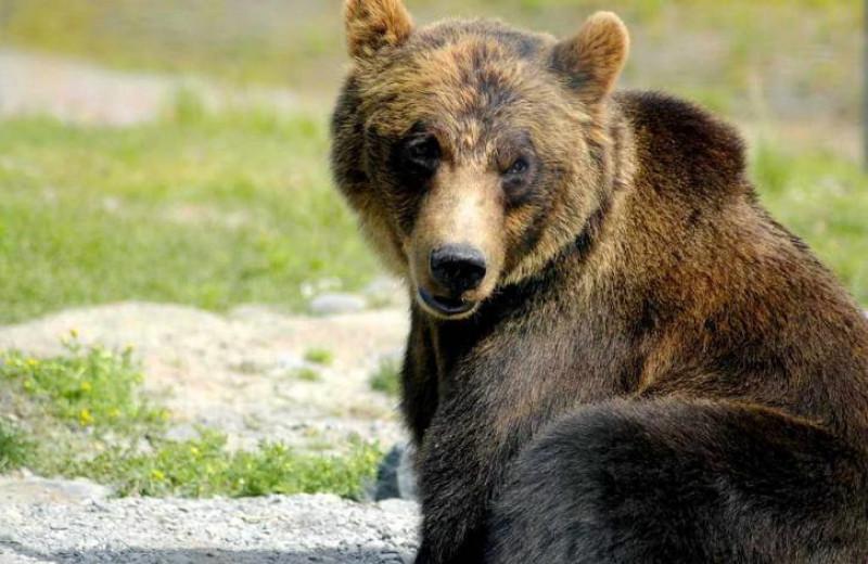 У скандинавских медведей нашли устойчивость к антибиотикам