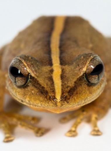 Найдены останки древнейшей лягушки на Карибах, которую считают символом Пуэрто-Рико