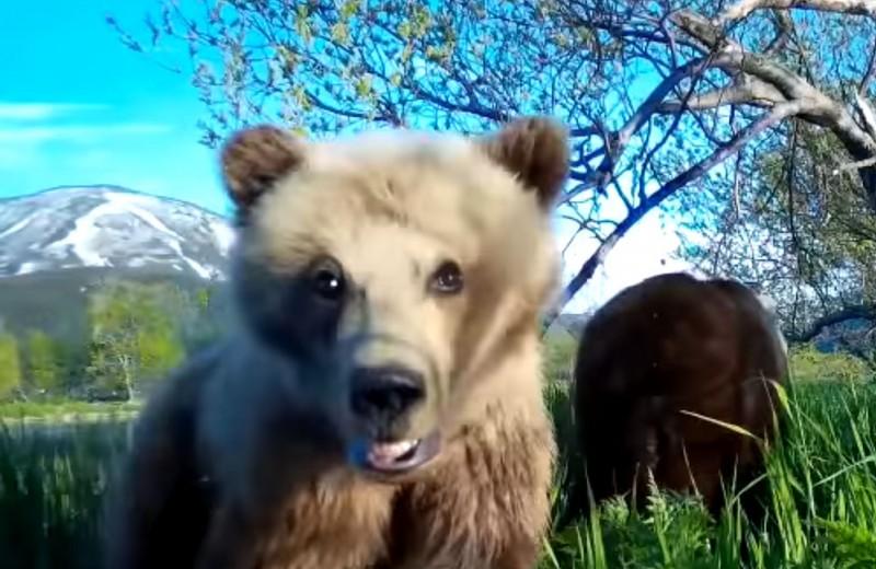 Селфи медвежонка в Кроноцком заповеднике: видео