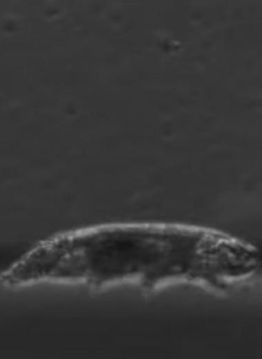 Как ходит тихоходка: видео с микроскопа