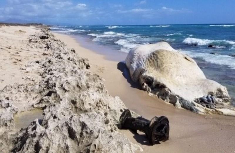 Трагедия на Гавайях: море не принимает тело погибшего кашалота