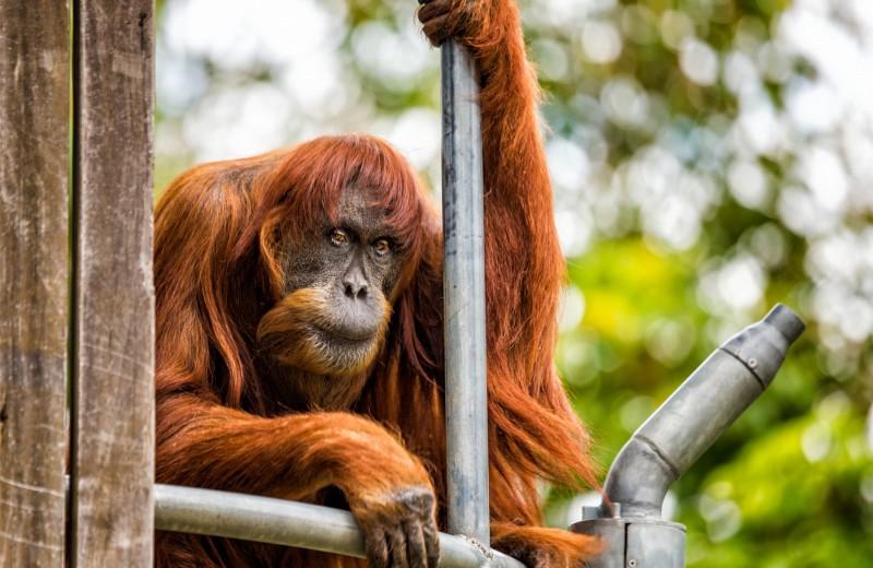 Самый старый в мире орангутан усыплён