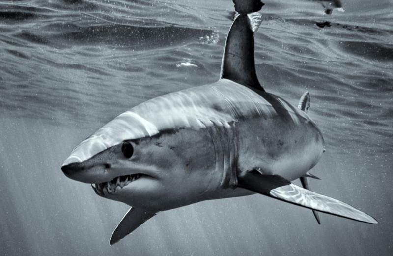 Одно из самых странных дел в Австралии: акула в аквариуме внезапно выплюнула татуированную руку