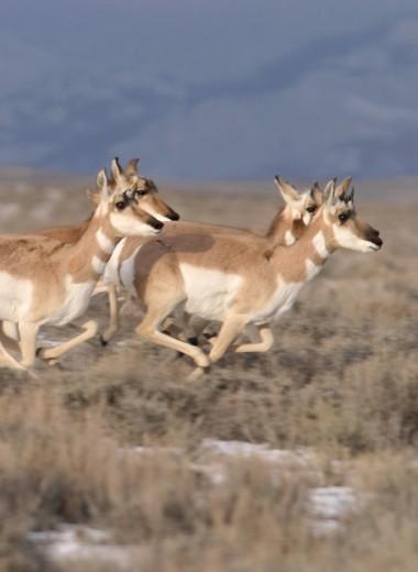 Слепень, клещ, вилорог: самые быстрые животные в мире
