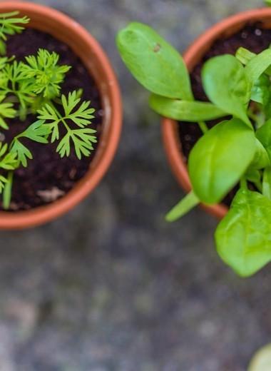 Как вырастить укроп и петрушку на подоконнике: лайфхак для идеальной хозяйки