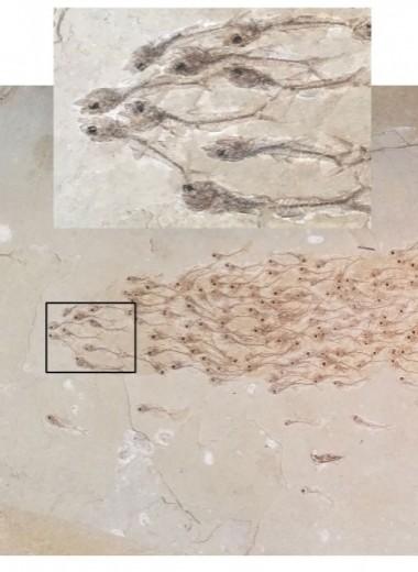 Стая рыбок в каменном плену: необычный отпечаток эпохи эоцена