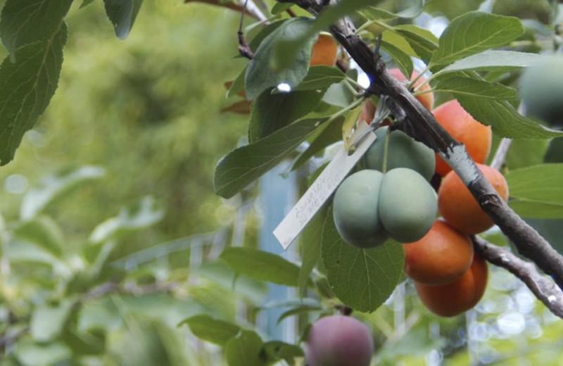 40 видов фруктов на одном дереве: видео