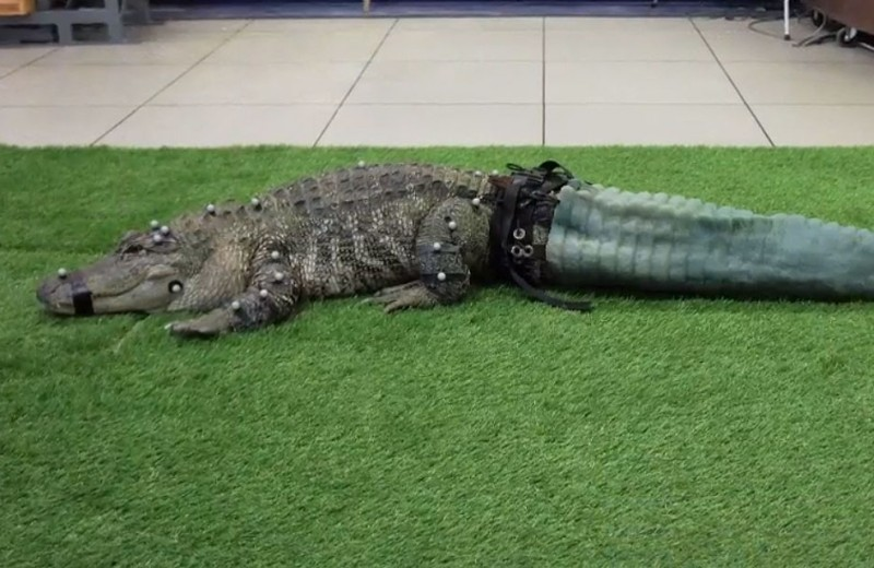 Аллигатору напечатали хвост на 3D-принтере: видео