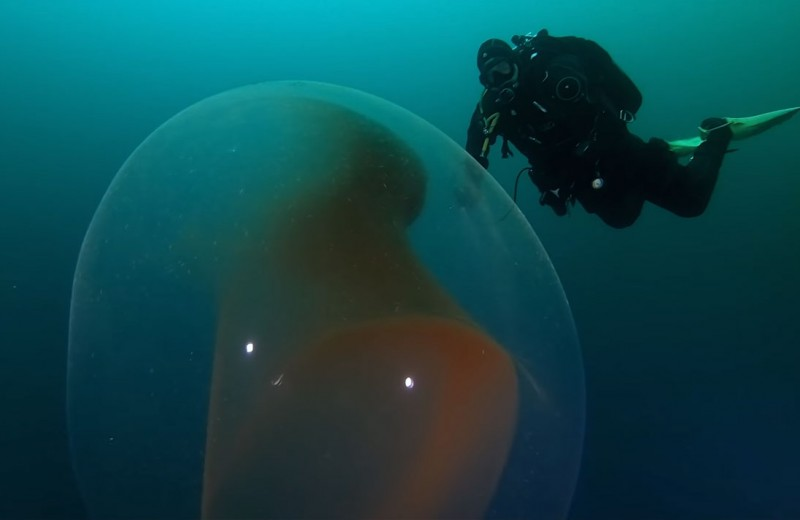 Как выглядит подводная капсула с яйцами кальмара: видео