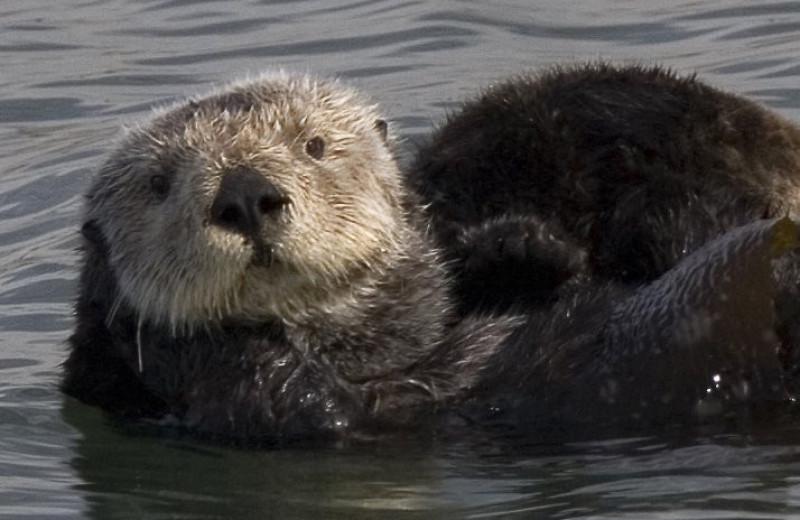 Почему каланам не холодно в океане: новое исследование