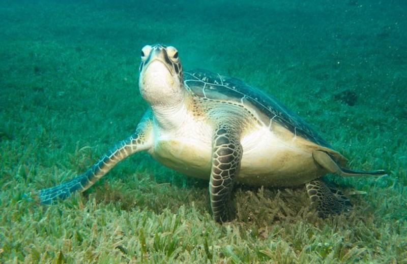 Морские черепахи оказались плохими штурманами