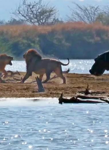 Как львы наказывают нарушителя границ: жестокое видео