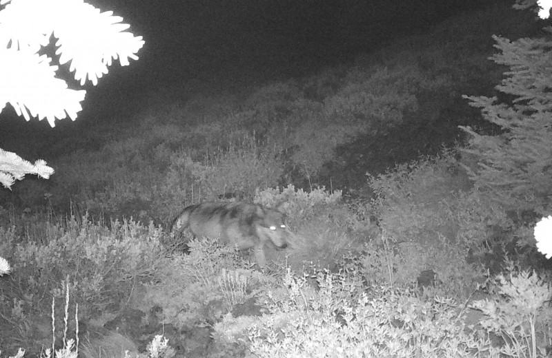 В США нашли волка, который не прочь перекусить кузнечиками