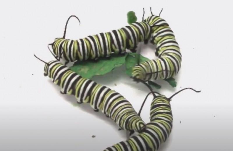 Голодные и злые гусеницы сражаются за еду: видео