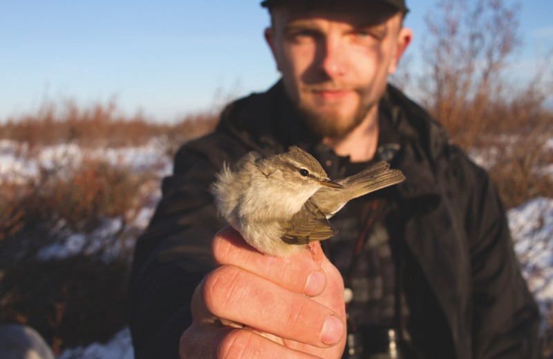 Якутская весничка: длинный путь маленькой птички