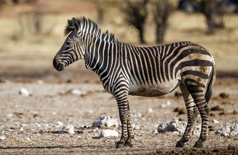 Горные зебры приняли пылевые ванны и создали оазисы в сухой саванне