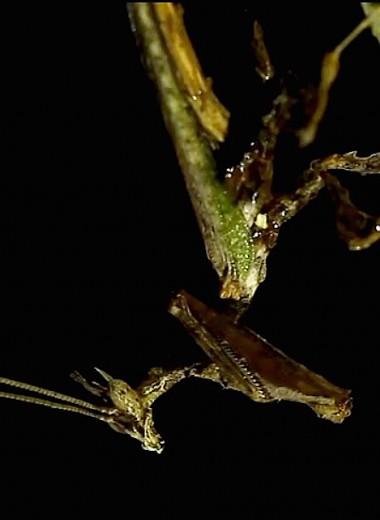 Травяной дракон – мастер маскировки