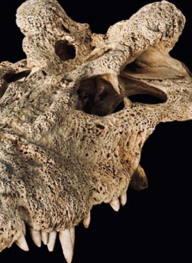 Зоологи пересмотрели родственные связи вымершего рогатого крокодила