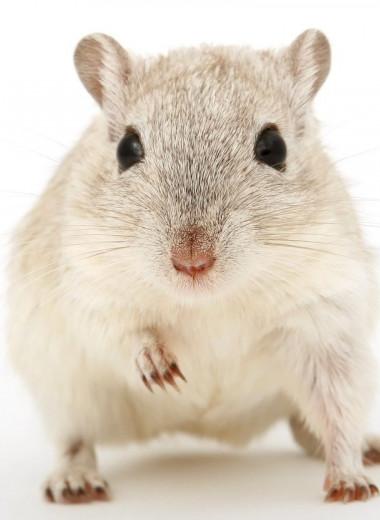 После изоляции самки мышей стали более болтливыми