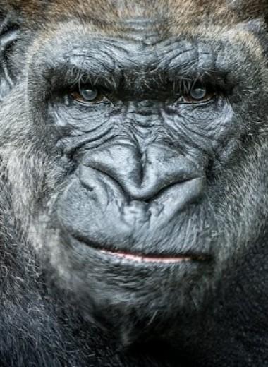 Западные равнинные гориллы поделили территорию без кровавых конфликтов