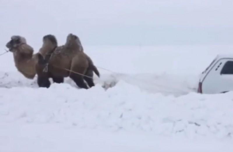 Верблюд вытаскивает машину из сугроба, или Зима в Саратове