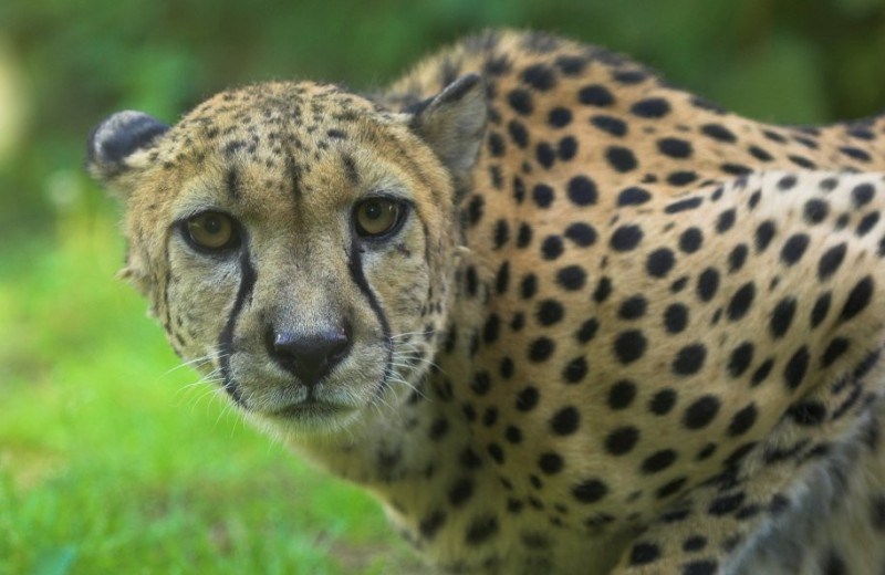 Перегрев не мешает гепардам охотиться