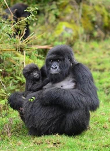 Внушительные размеры не помогли самкам горных горилл родить больше детей