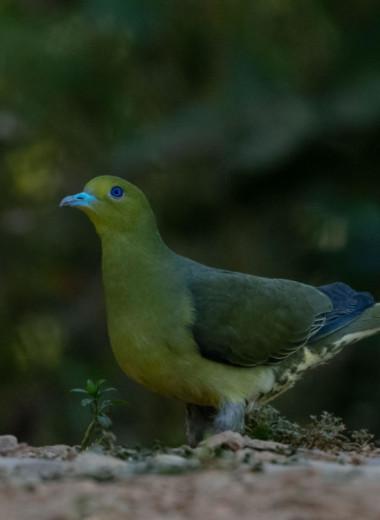 Редкий, яркий и скрытный: кто такой зеленый голубь