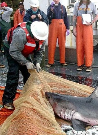 Акул легче выловить в прохладных водах. Никто не знает, почему