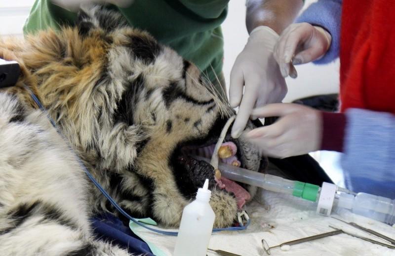 Тихон и стоматологи: приключения тигра на «Земле леопарда»