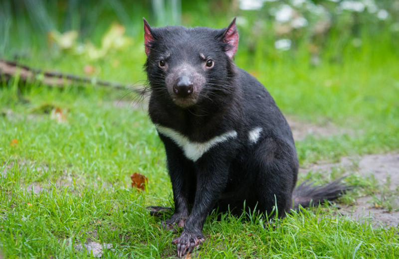 Ученые усомнились в вымирании тасманийских дьяволов из-за инфекционного рака